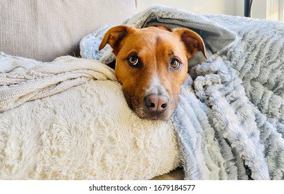 Pit Bull Shepherd Dog Wrapped in Blanket on Sofa Bed Cozy Portrait