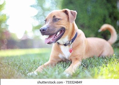 Pit Bull Shepherd Mix Puppy Dog Lying down on Grass on Sunny Summer Day
