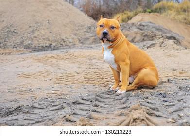 Pit bull sitting