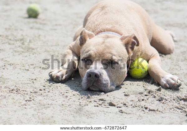 Pit Bull Tennis Ball Lying Down Stock Photo (Edit Now) 672872647