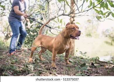 Pit bull terrier. American pit bull terrier. Man keeps the dog on the leash. The dog looks aggressive, dangerous.