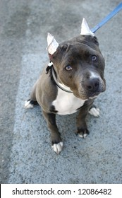 Pit Bull Terrier with Cropped Ears