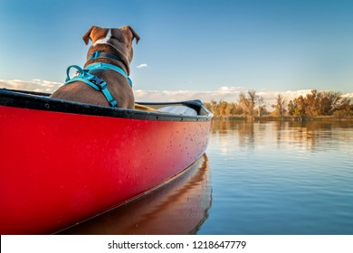 pit bull terrier dog lforward around in a canoe,  fall scenery on a lake in in Colorado