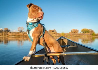 pit bull terrier dog looking around from a canoe, fall scenery on a lake in Colorado