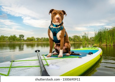 Pit bull terrier dog on an inflatable stand up paddleboard, summer scenery with green reeds, travel and vacation with your pet  concept