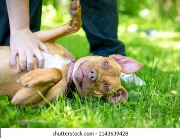 A Pit Bull Terrier mixed breed dog lying in the grass getting a belly rub