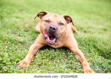 A Pit Bull Terrier mixed breed dog lying down in the grass and licking its lips