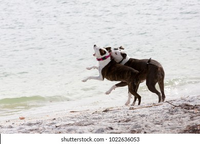 Pit Bull/Great Dane and Pit Bull/Terrier mixed breed dogs running and playing on a sandy beach on the Gulf of Mexico at St. Pete Beach, Florida.
