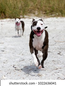 Pit Bull/Greyhound and Pit Bull/Terrier mixed breed dogs running and playing on a sandy beach on the Gulf of Mexico at St. Pete Beach, Florida.