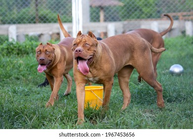 The pit bulls happily ran around on the green lawn in the cage. Many people tend to view it as ferocious. But its appearance is funny and cute. He has a habit of loving the owner of a big brown