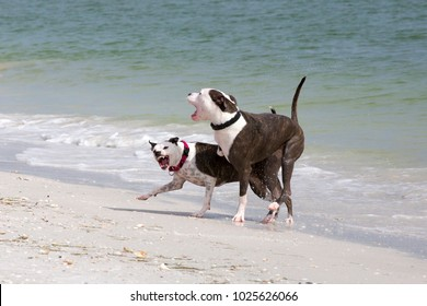 Pit Bull/Terrier and Pit Bull/Great Dane mixed breed dogs play on a sandy beach on the Gulf of Mexico at St. Pete Beach, Florida.