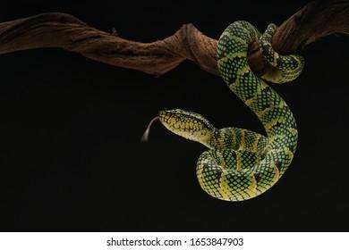 pit Viper snake venomous asian
