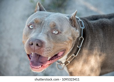 American Bully Images, Stock Photos & Vectors | Shutterstock