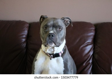 Pitbull with blank stare. Dog looking at camera. Cute Pet portrait.