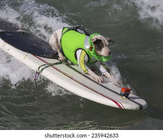 Pit-Bull / Pitbull catching a wave surfing