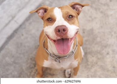 Pitbull dog alway smile