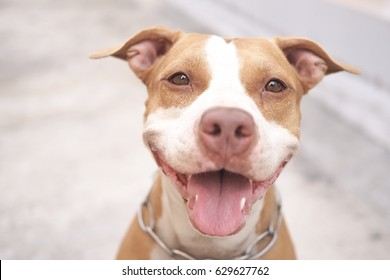 Pitbull dog alway smile.