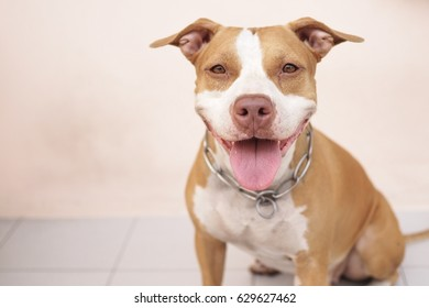 Pitbull dog always smile.