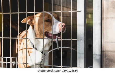 pitbull dog behind fence, pitbull, pitbull lover, pitbull in shelter