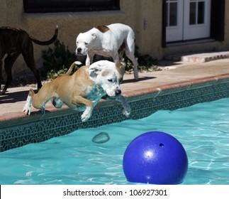 Pitbull dog diving into swimming pool