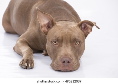 Pitbull dog in front on white background
