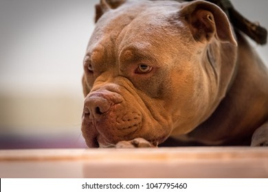 Pitbull dog loos sad