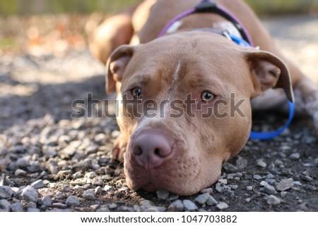 pitbull dog dog park stock photo edit now 1047703882 shutterstock
