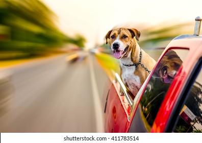 pitbull dog traveling on pickup car