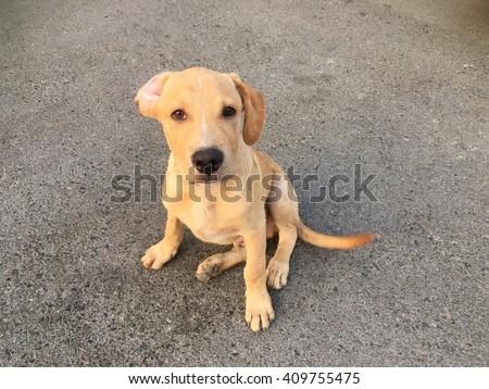 pitbull golden retriever mix