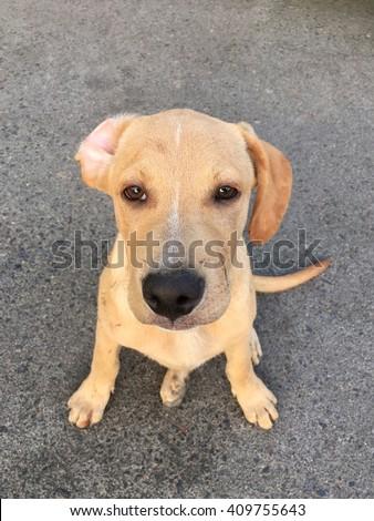 Pitbull Golden Retriever Mix Puppy Cross Stock Photo Edit Now