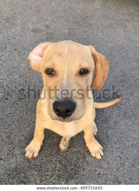 Pitbull Golden Retriever Mix Puppy Cross Stockfoto Jetzt Bearbeiten