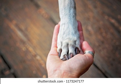 pitbull lab mix with her paw in the hand of her owner