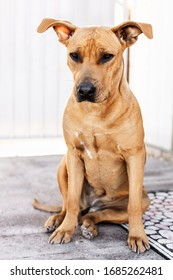 Pitbull mix dog sitting near the house in a day time, portrait of friendly puppy, vertical composition - Image