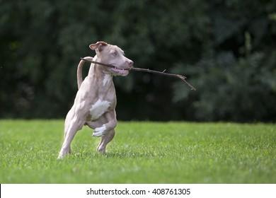 Pitbull Playing With a Stick
