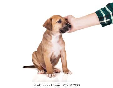 Pitbull puppy sitting on white background