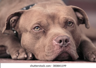 pitbull Red nose  , Amazing Dog