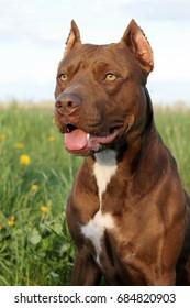 Pitbull terrier dog portrait. Rednose pitbull girl.