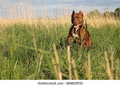 Pitbull terrier dog. Rednose pitbull.