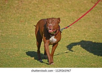 Pitbull Stock Photos, Images & Photography | Shutterstock