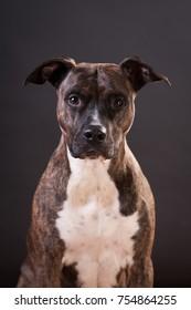 Pitbull terrier portrait at studio on black background