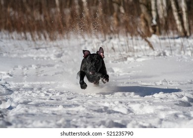 Pitbull terrier/ winter session with pit bull terrier