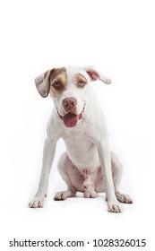 PitBull white dog