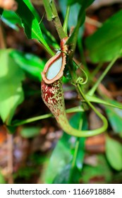 Pitcher ,carnivorous plant,Nepenthes, in the rain forest