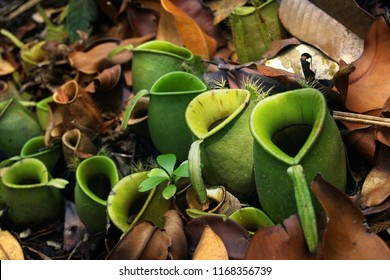 Pitcher, Nepenthes,carnivorous plants in the rain forest
