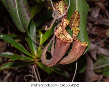 Pitcher plant (Nepenthes sp.) in Bako National Park, Borneo