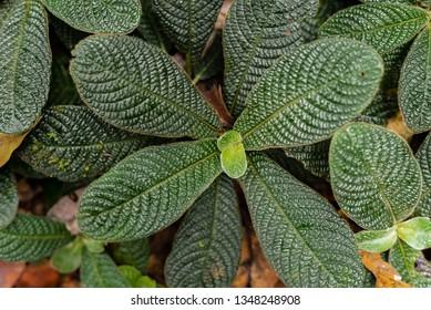 Pitcher plant in the rainforest Sinharaja, Sri Lanka