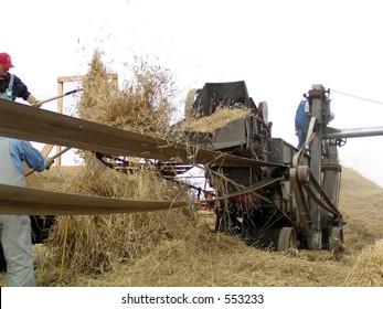 pitching bundles into traditional threshing machine