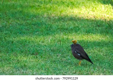 Pitiful black Myna bird with a featherless head, hoping around a park in Bangkok, Thailand, oblivious of its difference.