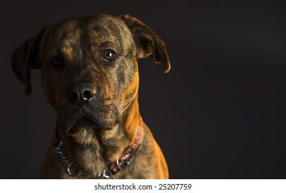 Pitt Bull Pup