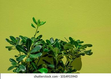 Pittosporum tobira pland against green wall.